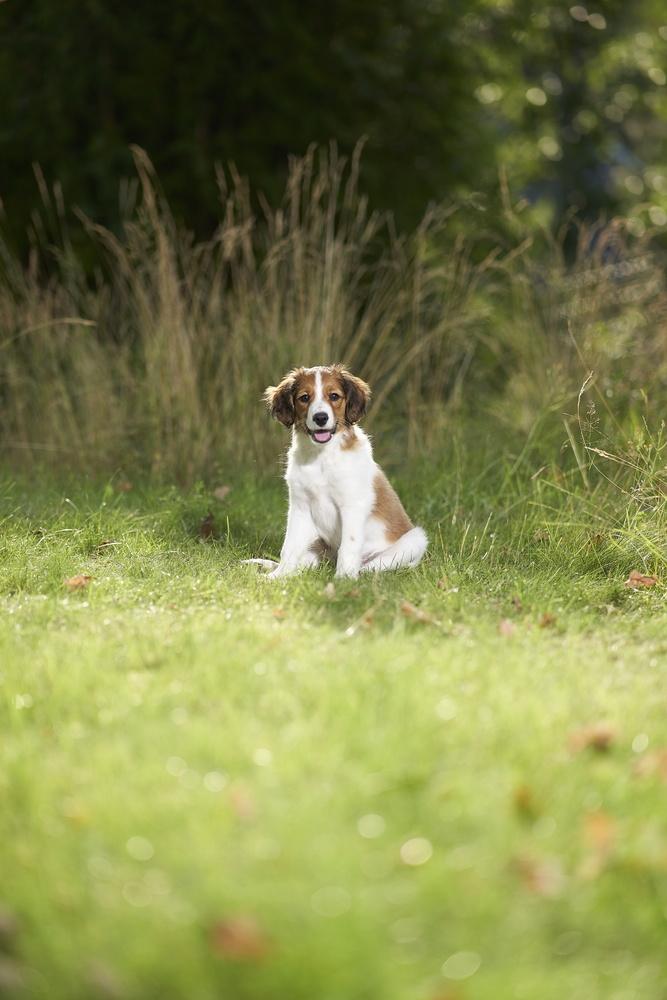 Kooiker puppy by Conny Naslund