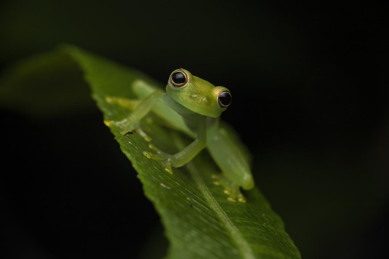Crystal frog by Cynthia Bandurek