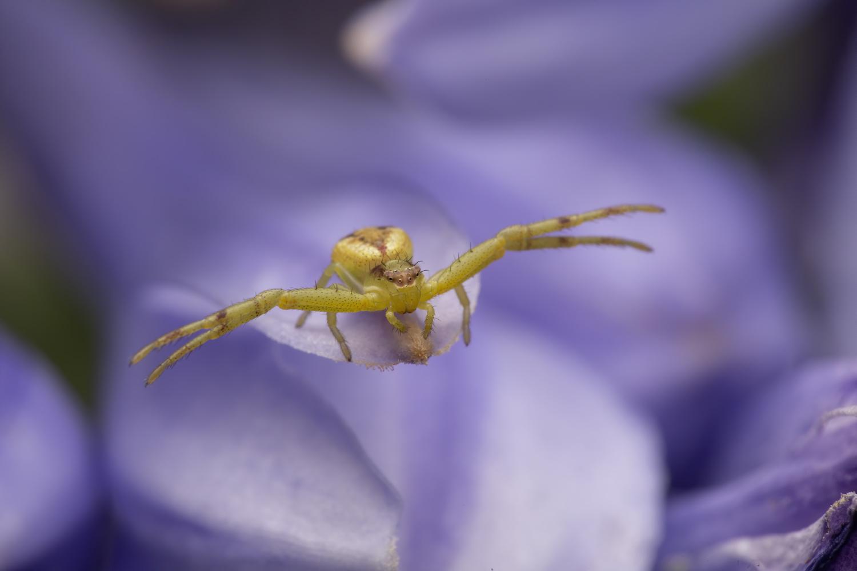 Crab spider by Cynthia Bandurek