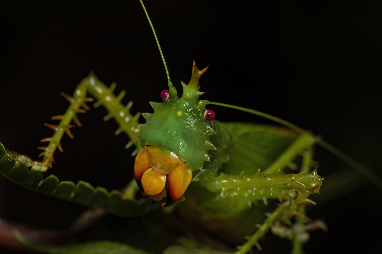 Panacanthus cuspidatus by Cynthia Bandurek