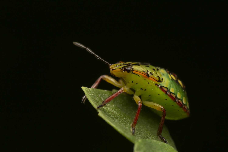 True bug by Cynthia Bandurek