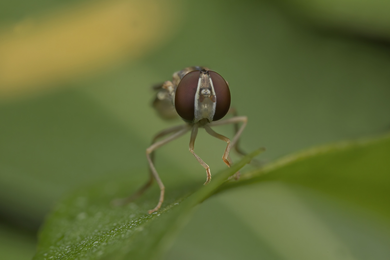 Syrphidae by Cynthia Bandurek
