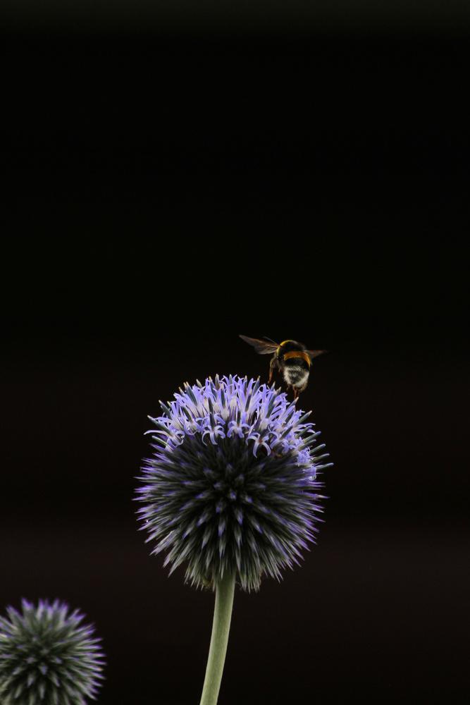 Planet Echinops by Chris Paloma