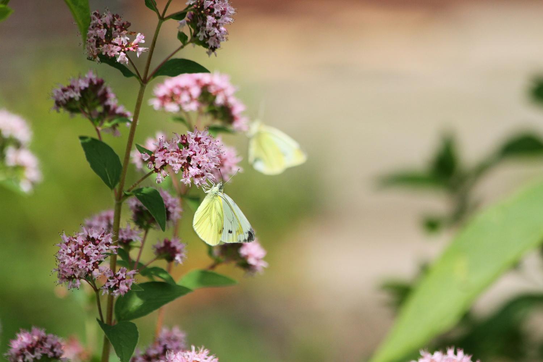 Feeding Butterflies by Chris Paloma