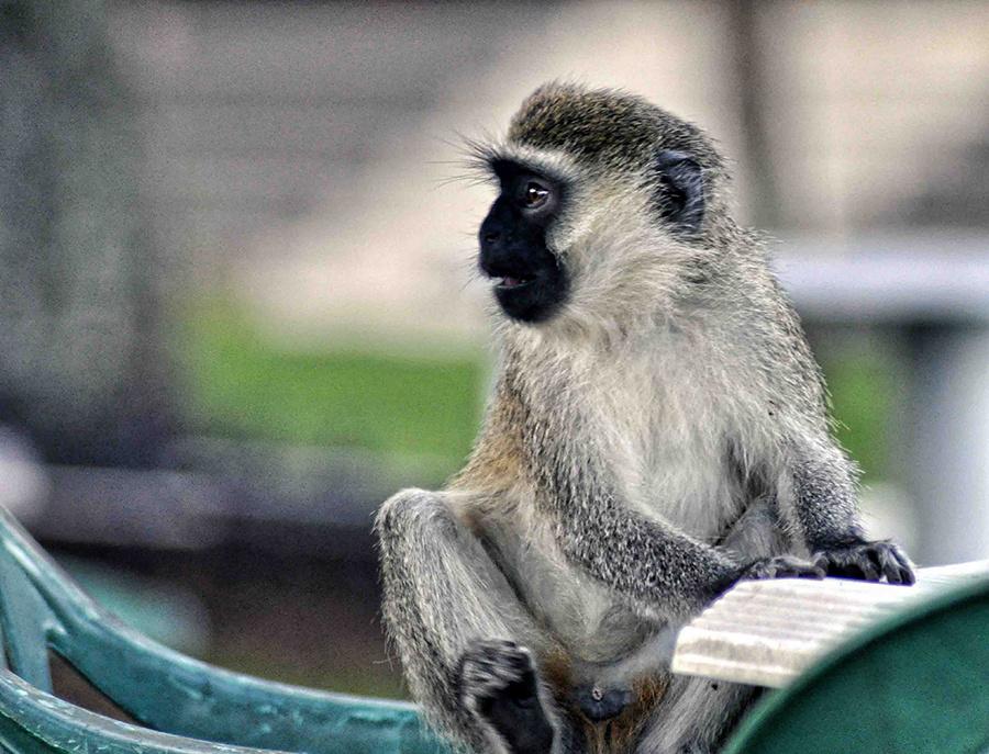Monkey in Entebbe by Rod Collett