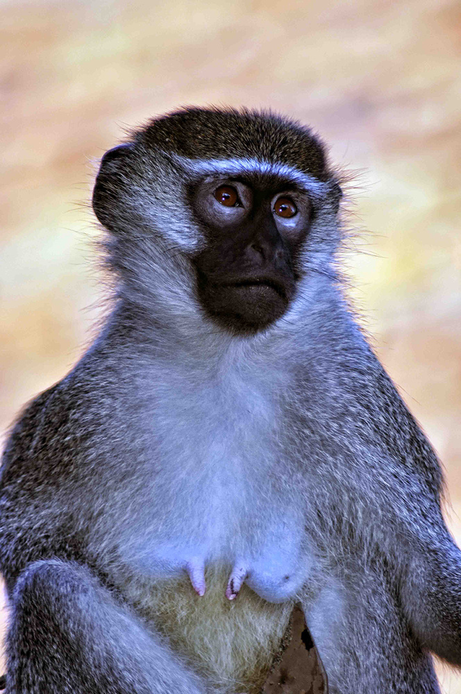 Ugandan Monkey by Rod Collett