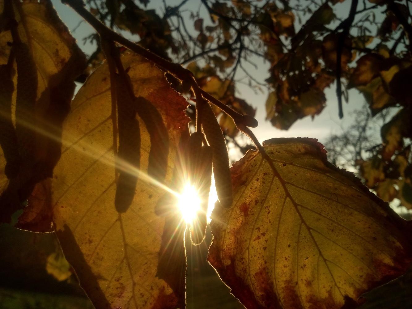 Haselnut leafs against sun by Dijana Kr