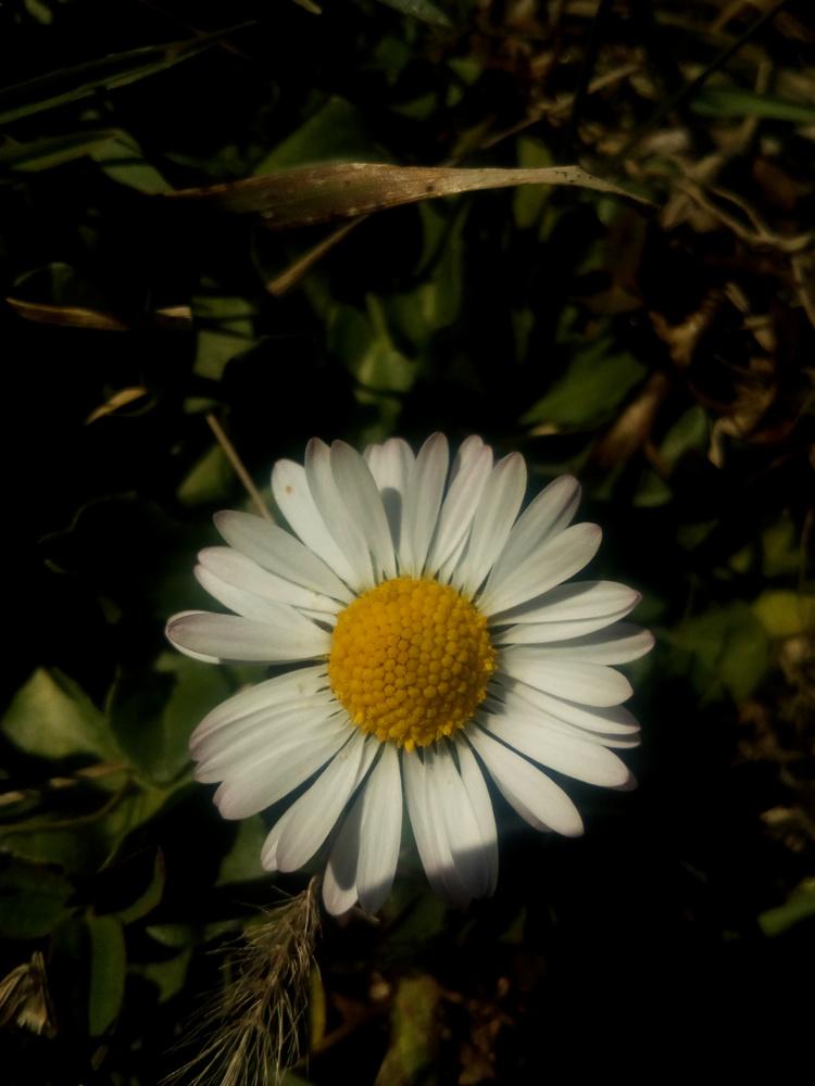 Daisy by Dijana Kr