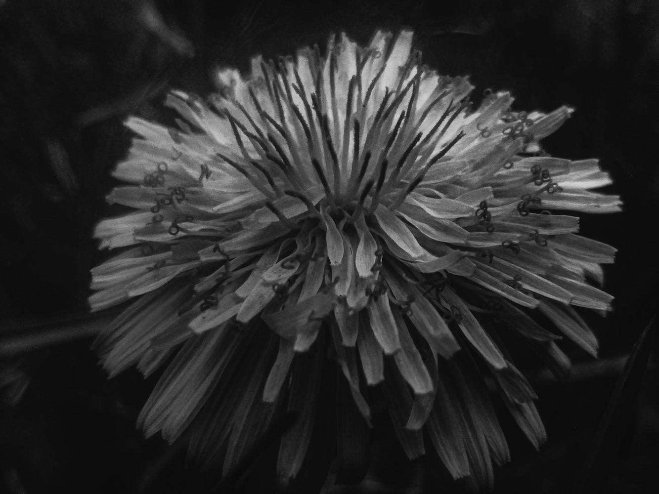 Dandelion B&W by Dijana Kr