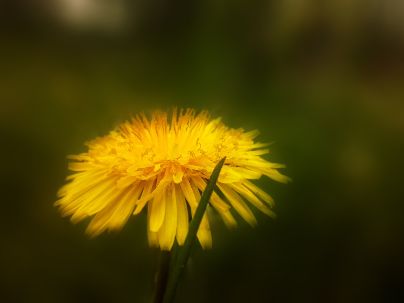 Dandelion by Dijana Kr