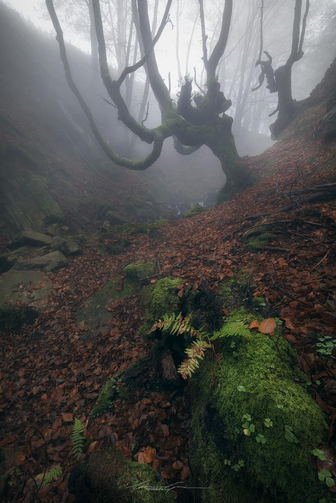 Moss, clovers, ferns and beech trees in the mist by Manu García