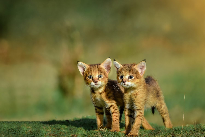 Jungle Cat by Lahiru Madusanka
