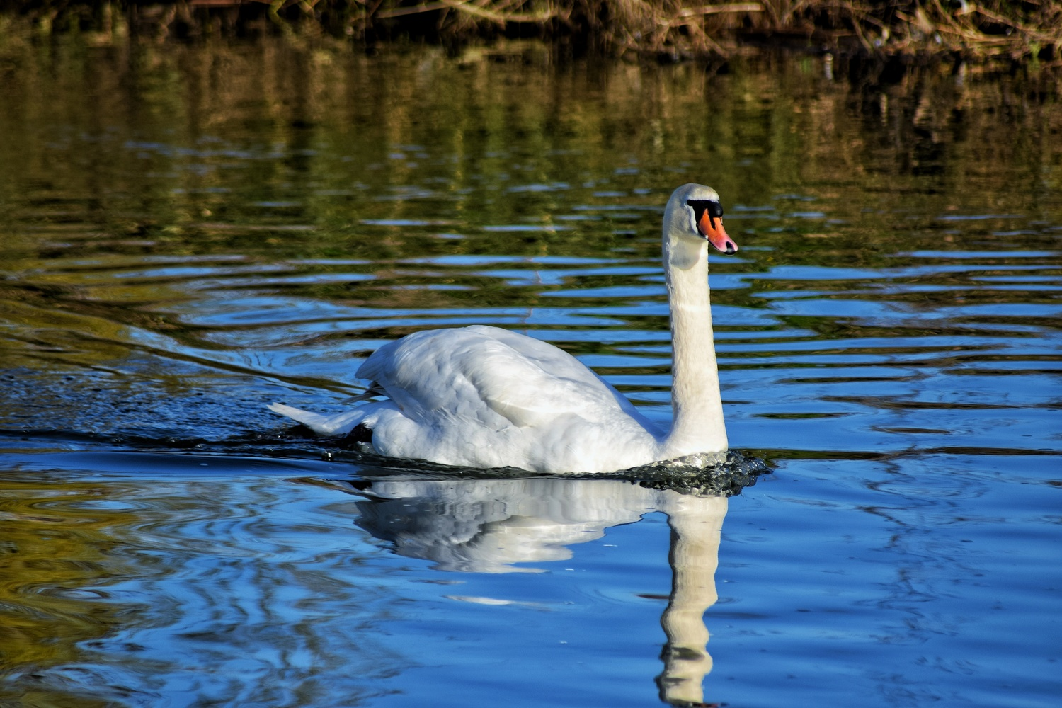 Swan Song by Callum Tiney