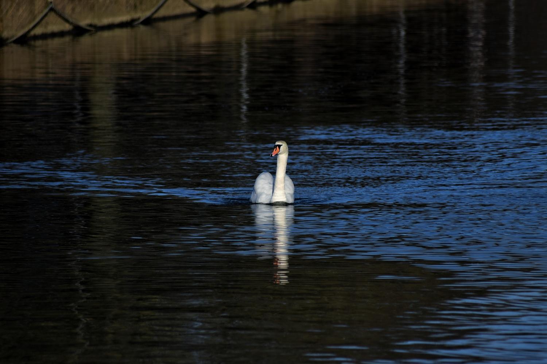 Swan Lake by Callum Tiney