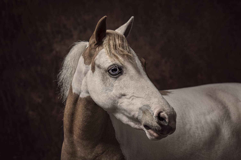 Miniature Horse by Darren Smith