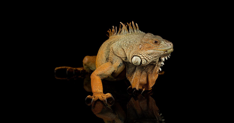 Iggy the dinosaur by Darren Smith