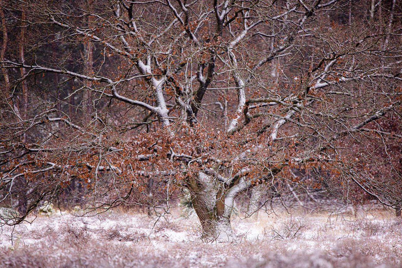 The oak tree by Nando Harmsen
