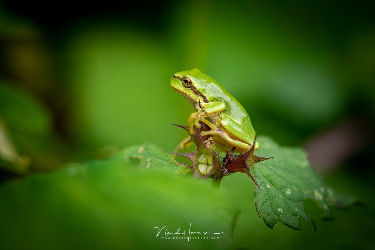 Tree frog by Nando Harmsen