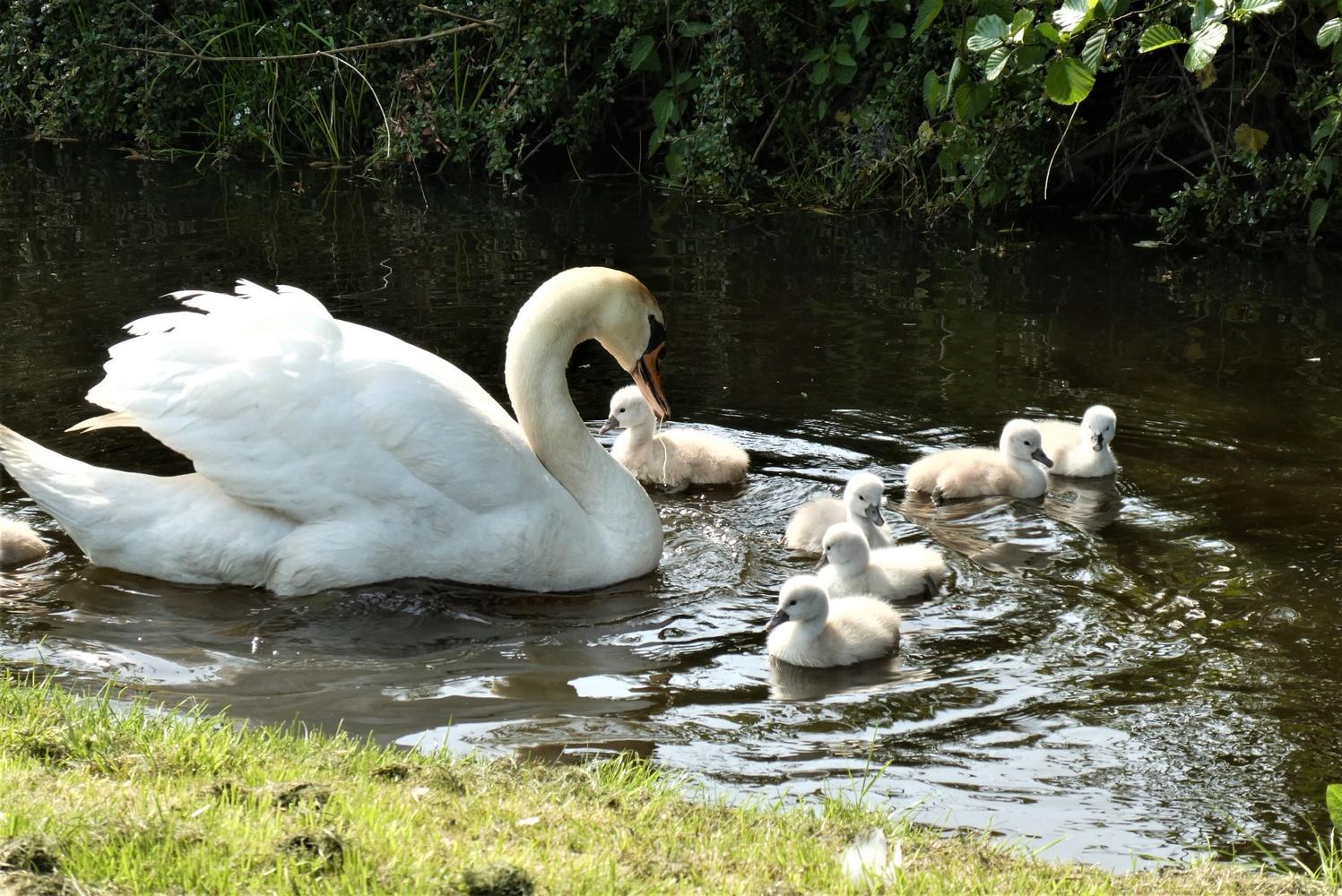 Swan by maka magnolia