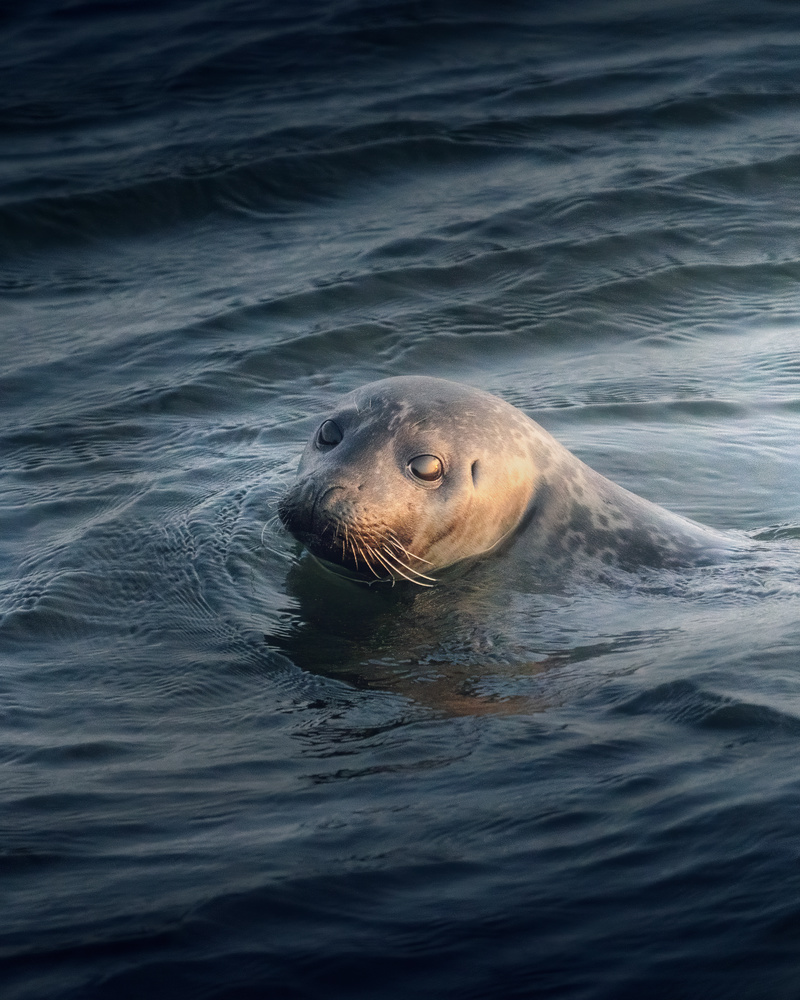 Seal in Iceland by DaniGviews /Daniel