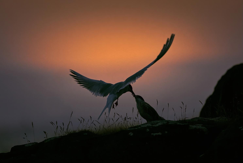 Tern feeding its chick in Iceland by DaniGviews /Daniel