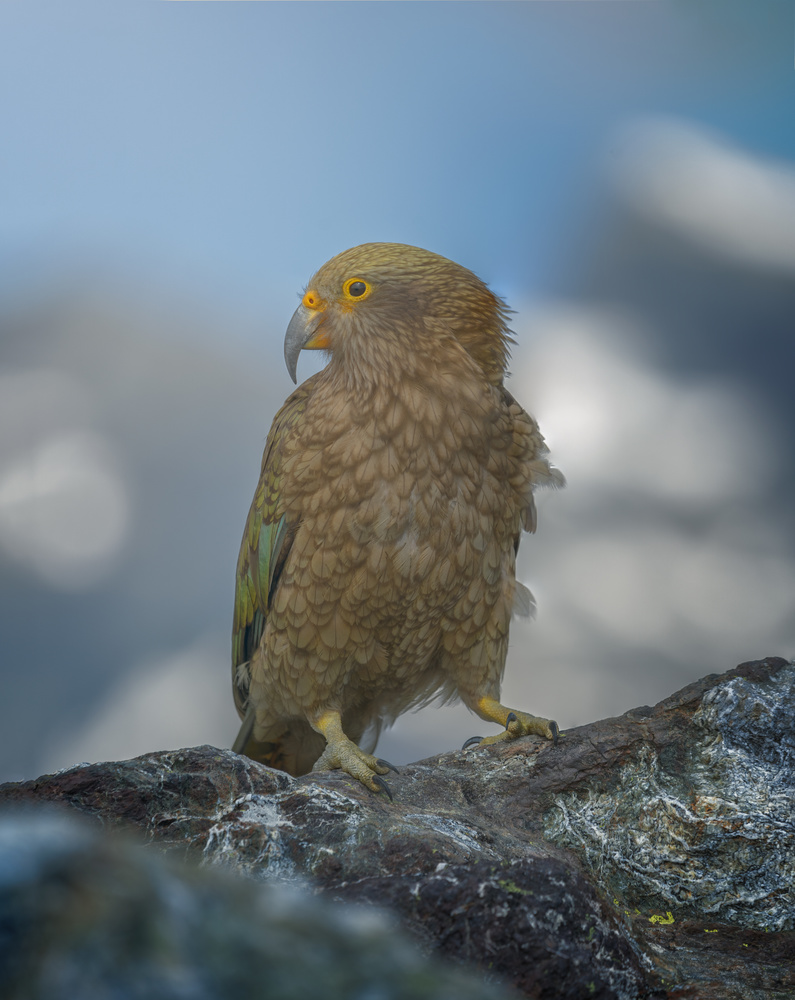 KAKA, The New Zealand's most typical parrot by DaniGviews /Daniel