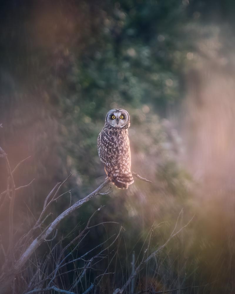 Short-eared Owl by DaniGviews /Daniel