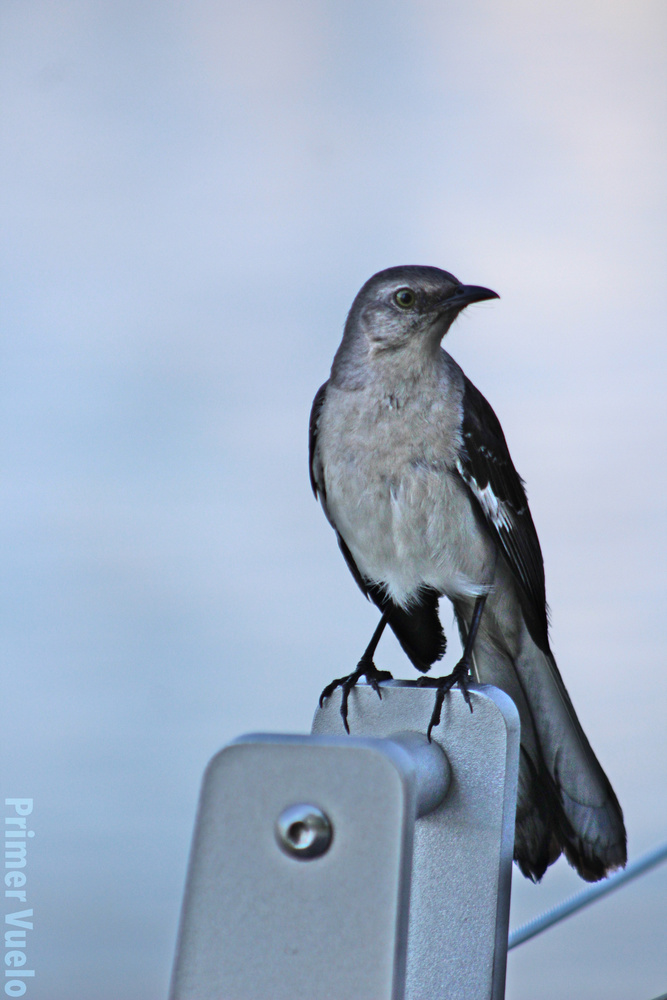 Possibly a Mockingbird by Warren Marquez