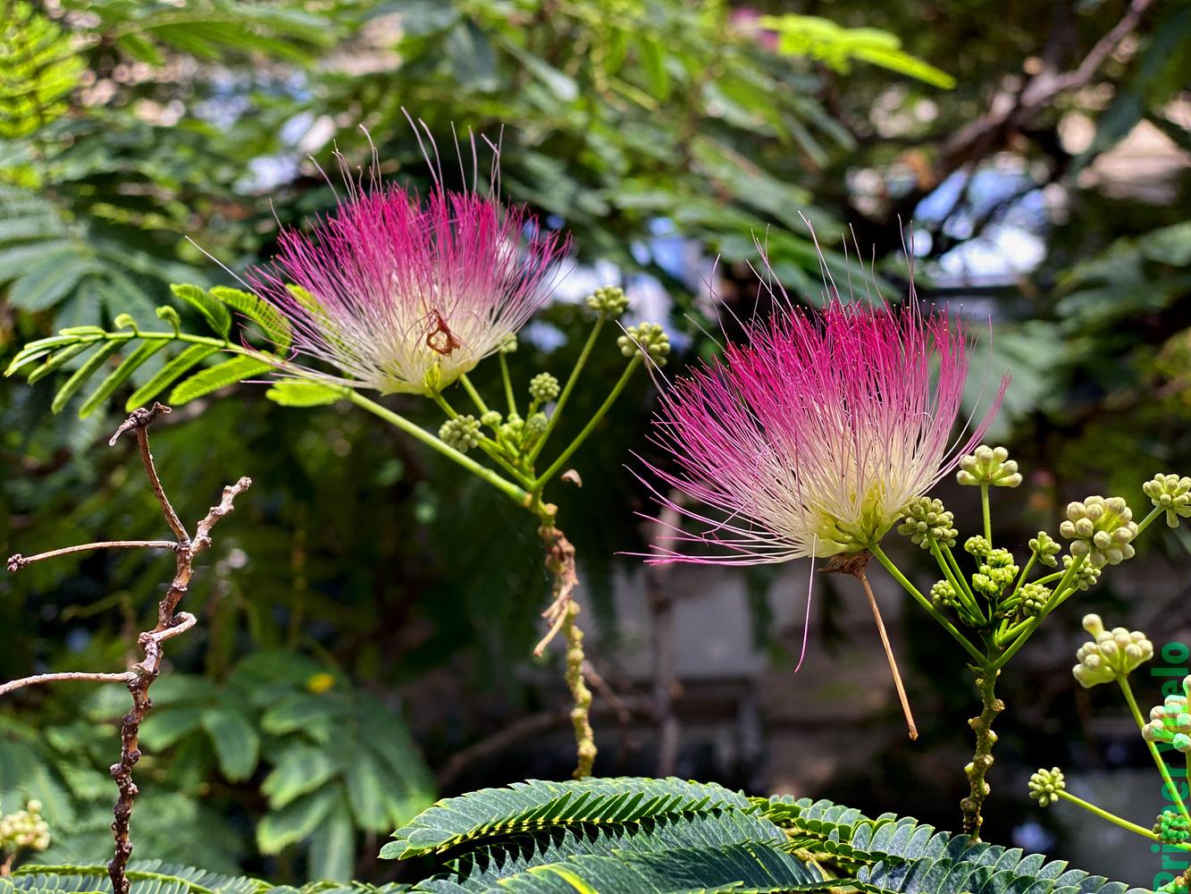 Persian Silk Plant by Warren Marquez