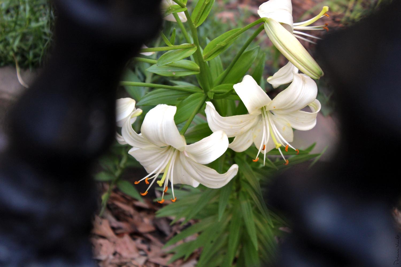 Lillies Between Wrought Iron Fence Slats by Warren Marquez