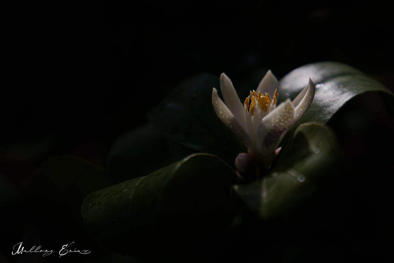 Lemon Flower by Mallory Erin