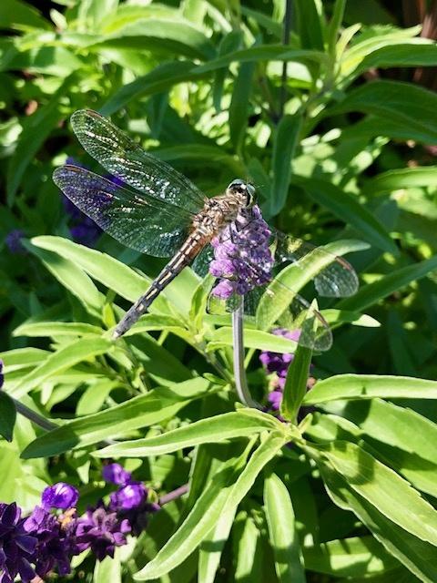 dragonfly by Tel de la Mora