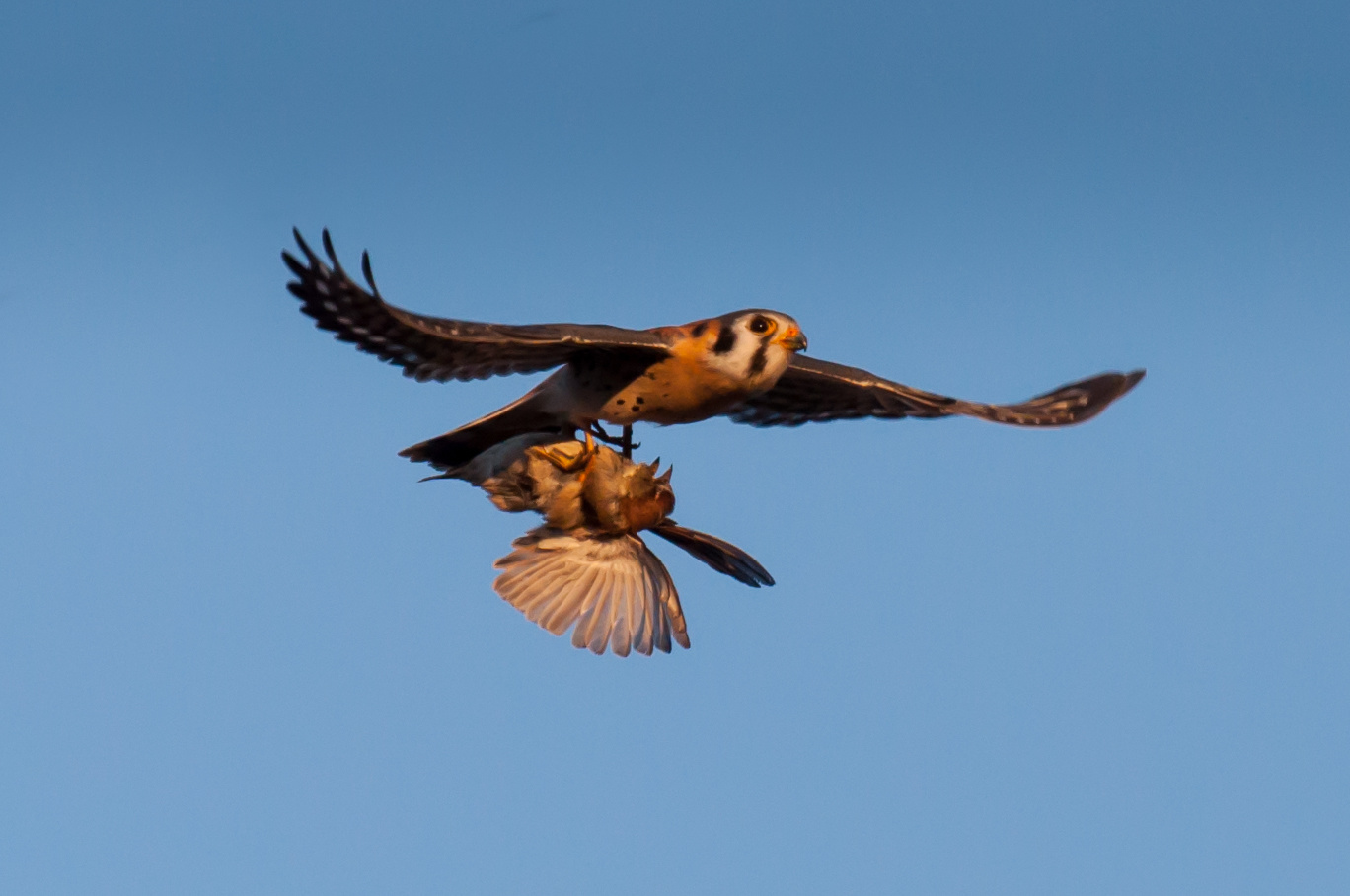 Kestrel Falcon by Don Heaton