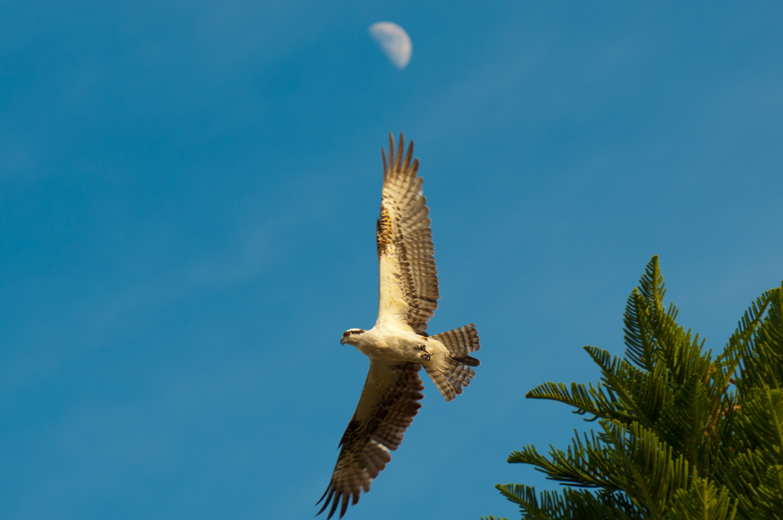 Osprey by Don Heaton