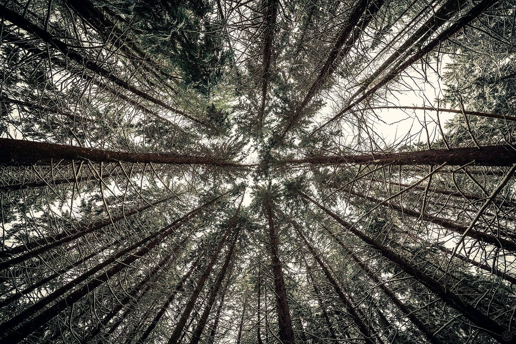 Century Pines by Keith Walters