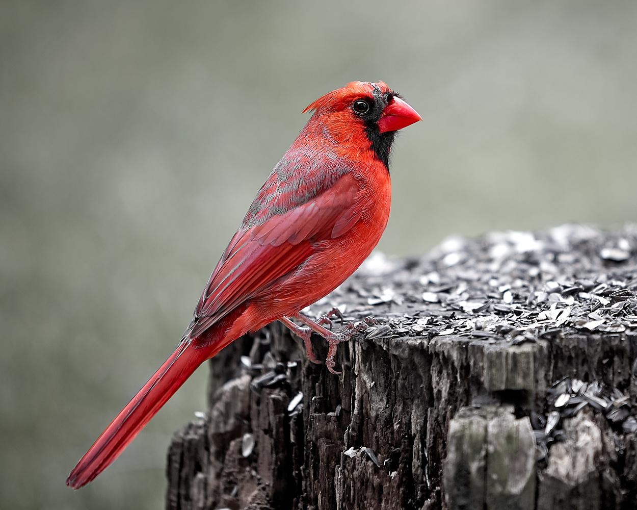 Cardinal by Hank Rintjema