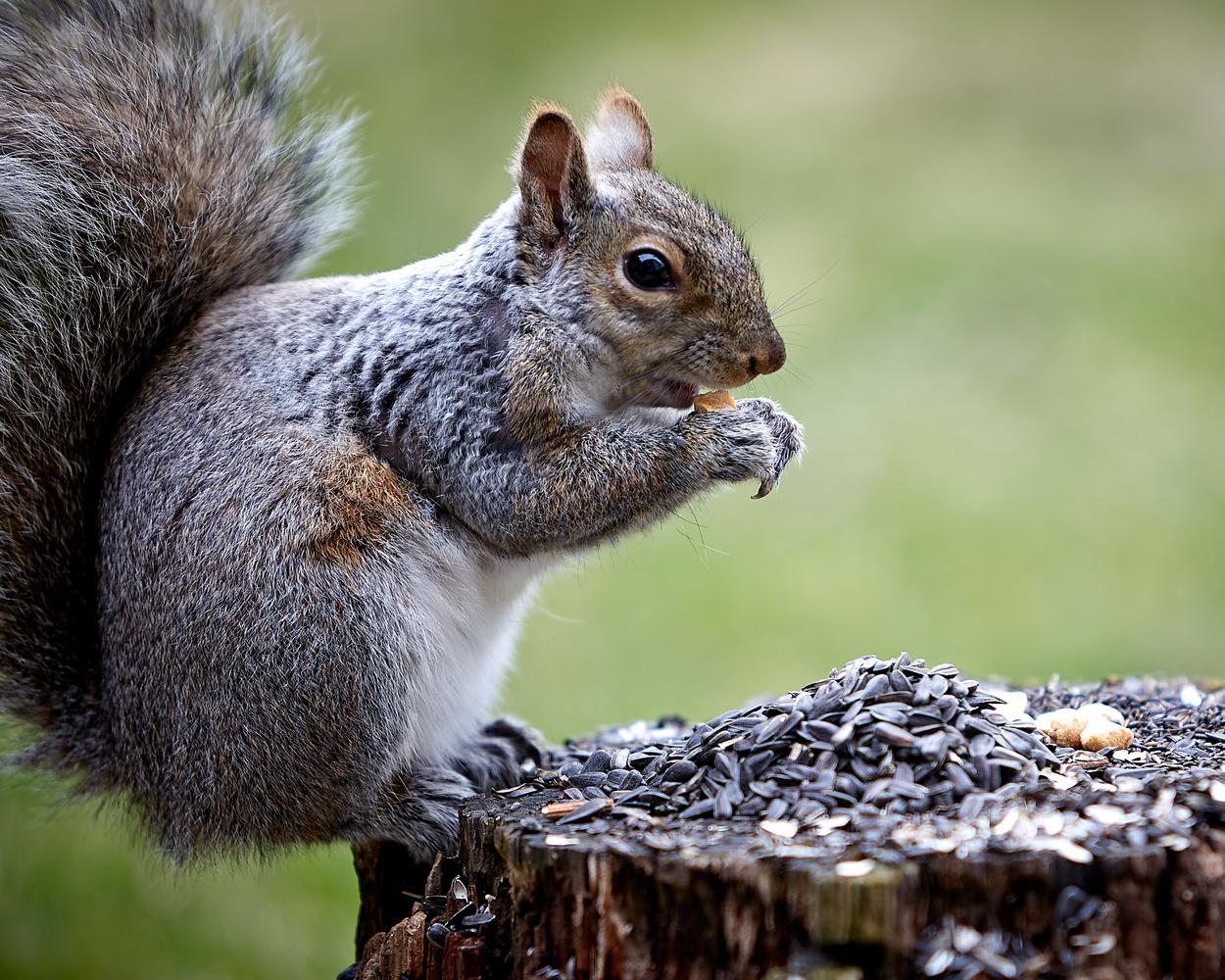 Squirrel by Hank Rintjema