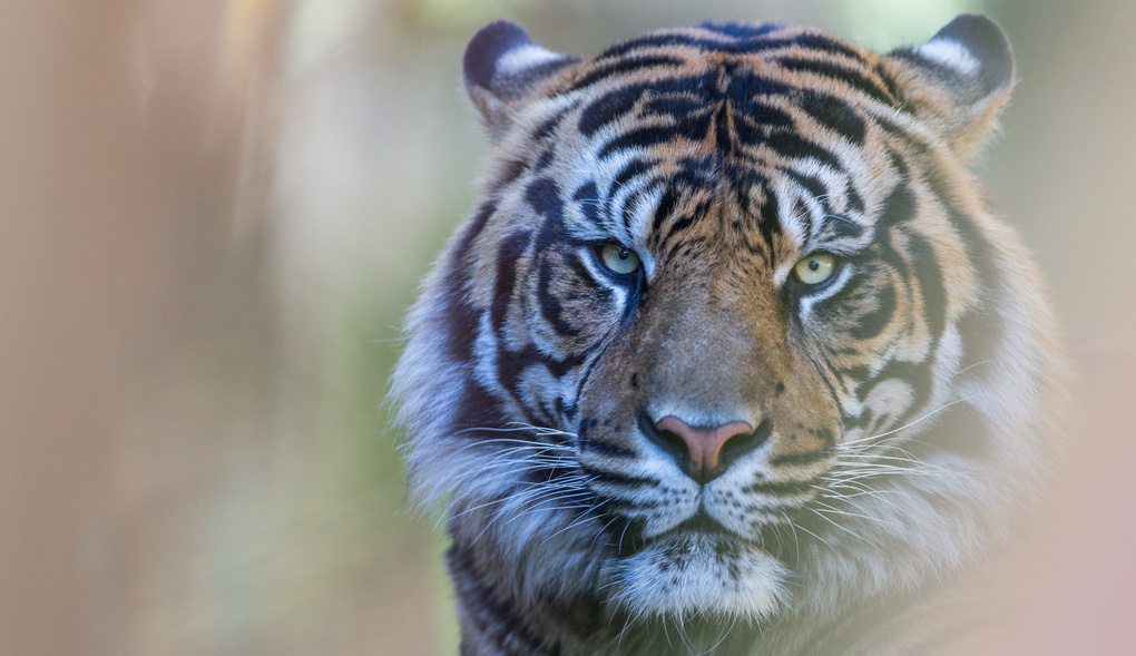 Tiger - San Diego Zoo by Russell Johnston