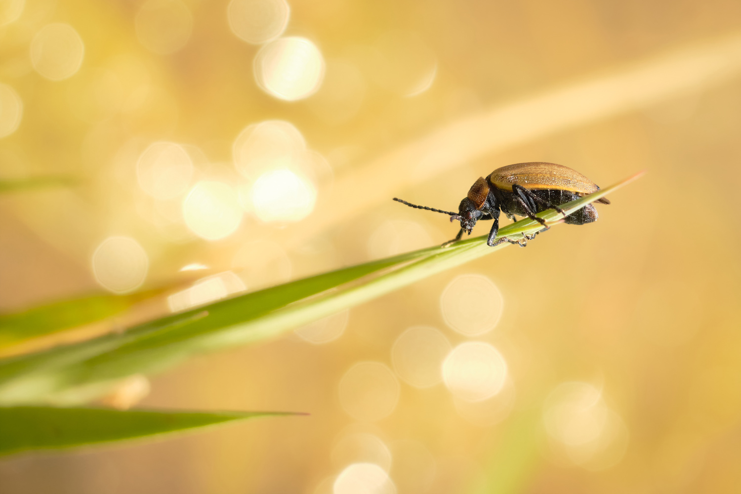 Beetle in the Sun by Deniz O