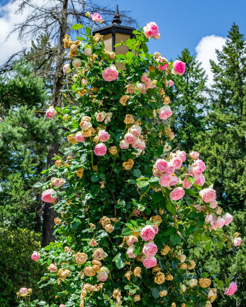 Rose Lamp by David Purvis
