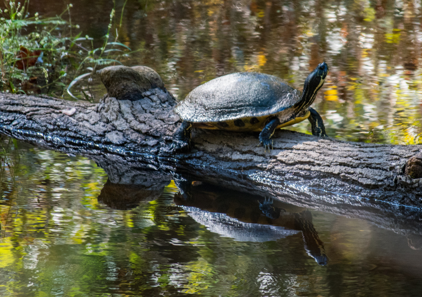 River Turtle by Steve Gaines