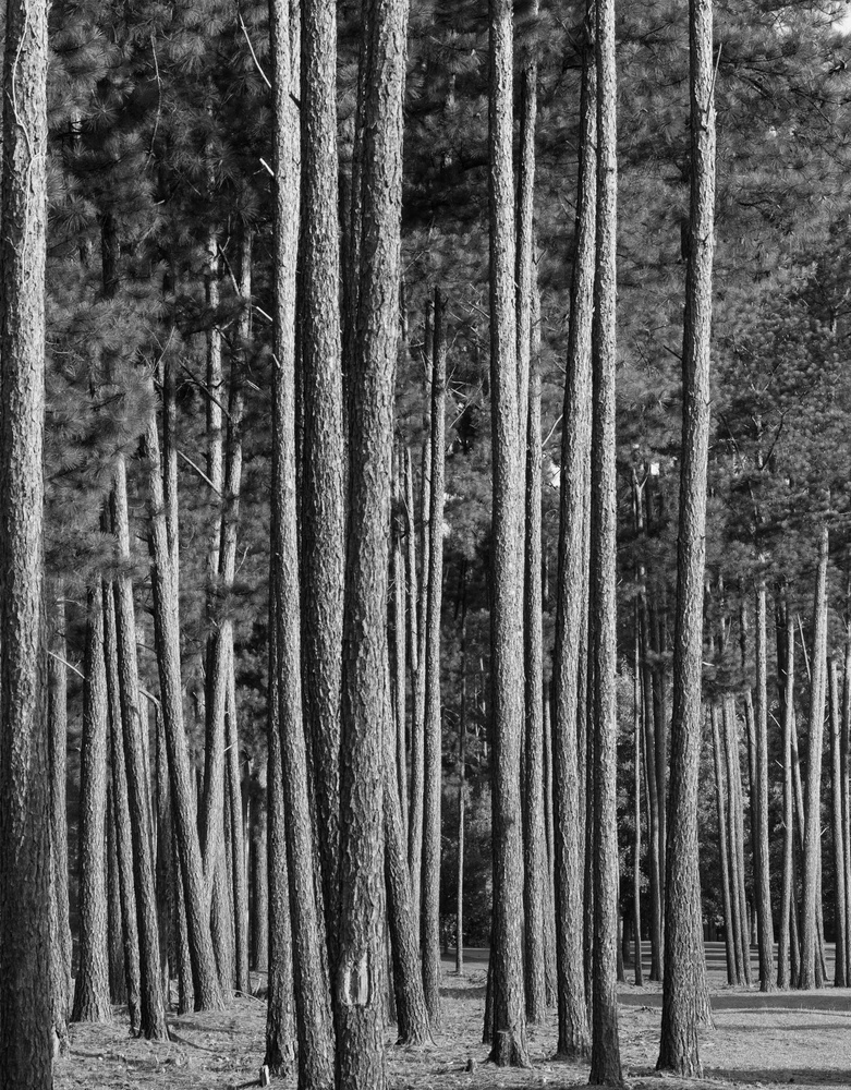 Forest of Pines by Steve Gaines