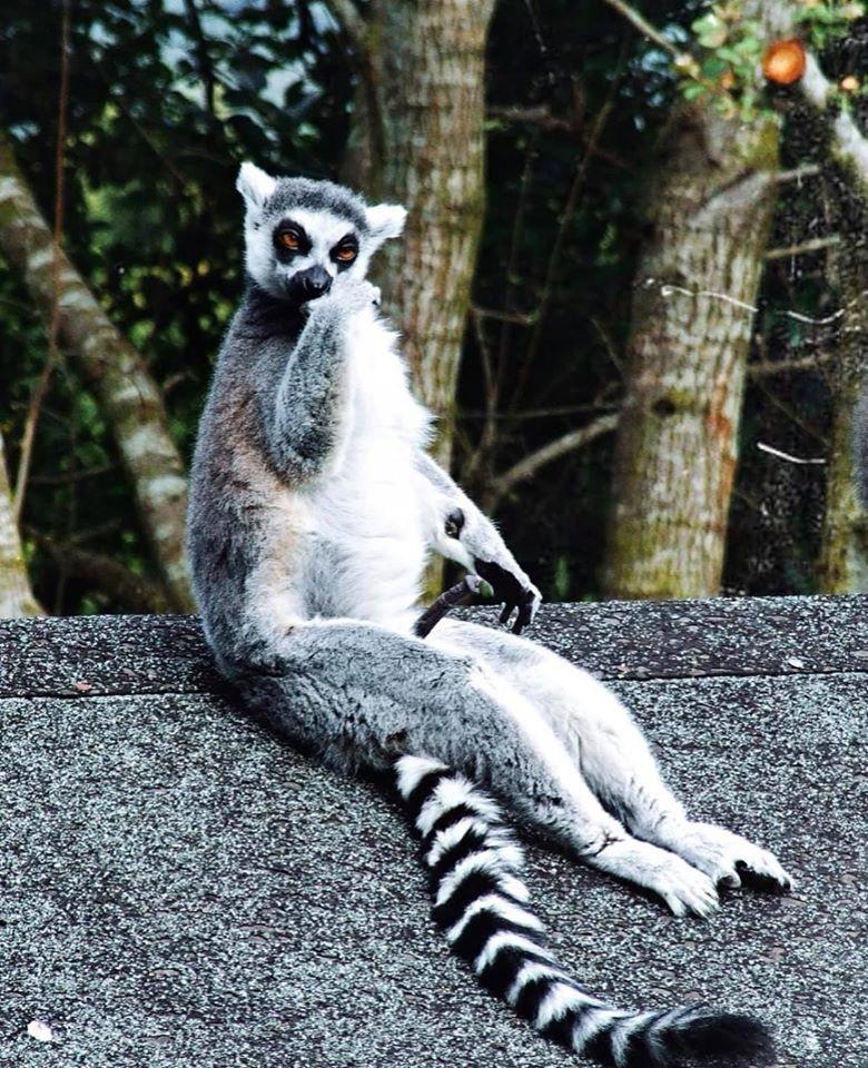 Lemur by Hannah Cardwell