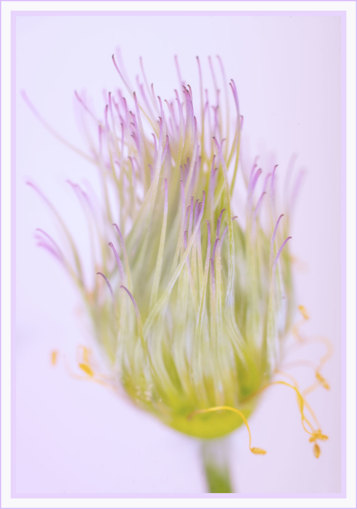 Lilac Vulgaris by Anthony Hepworth