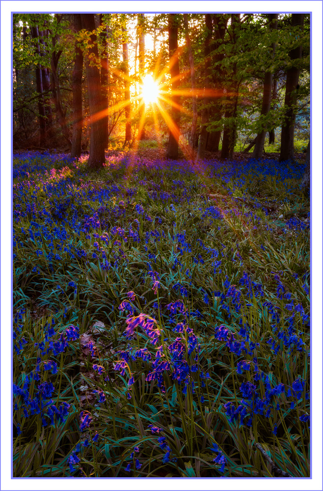 Bluebells at Sunset by Anthony Hepworth