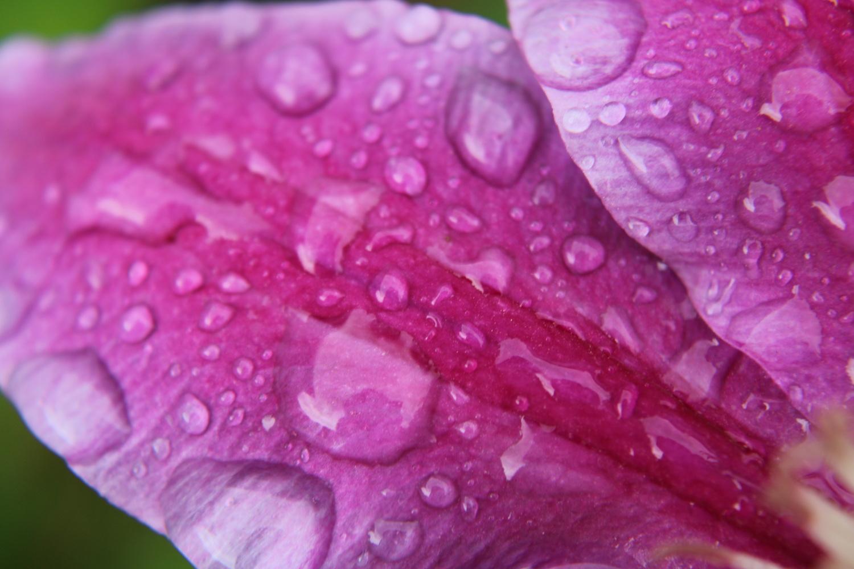 Rain on Flower petal by Rodney Vaughn