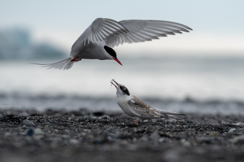 Arctic Tern by Karel Keklak