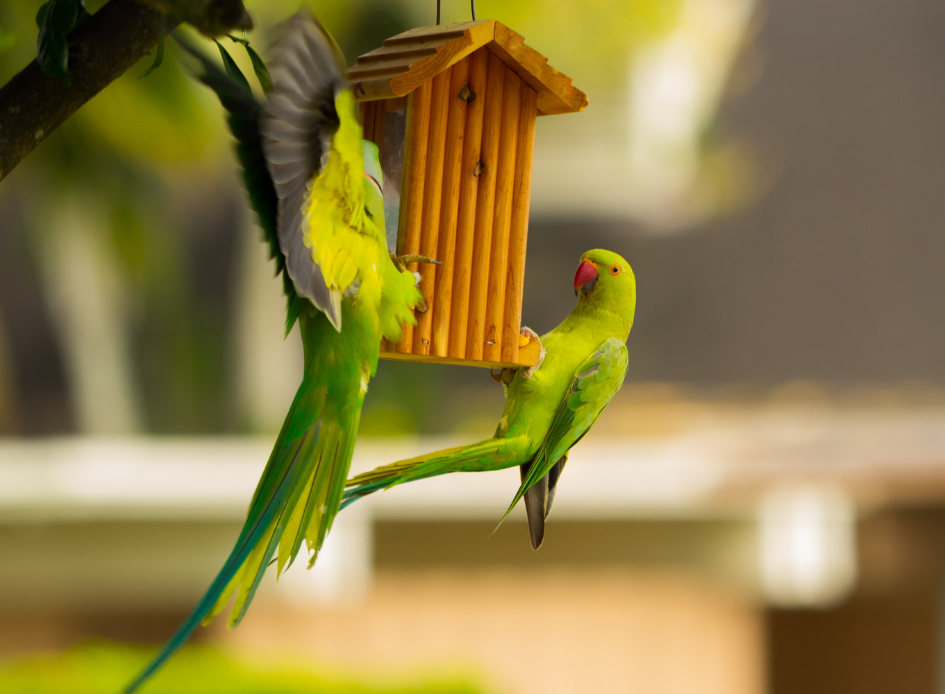 A pair of ringed parakeets on Oahu by Paul Chick