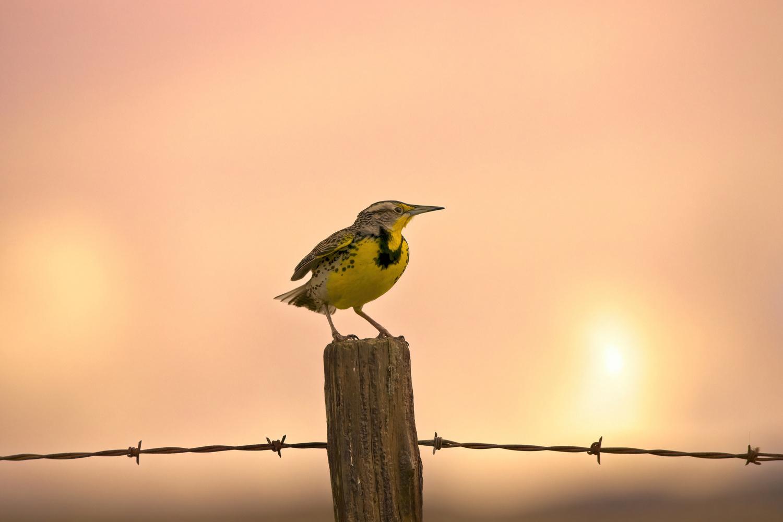 Western Meadowlark by Joe Burdick