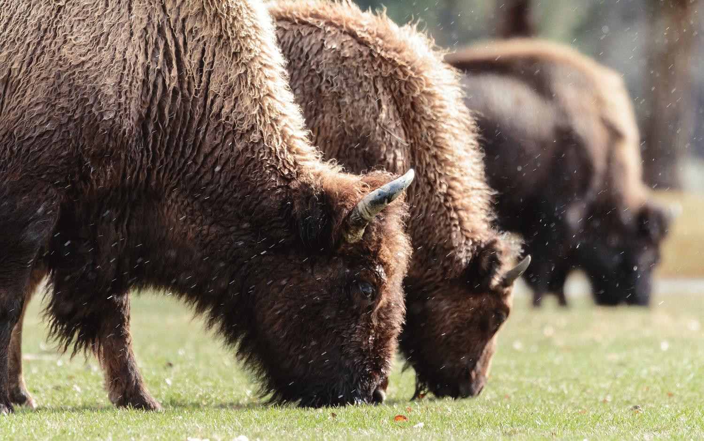 Tres Bison by Joe Burdick